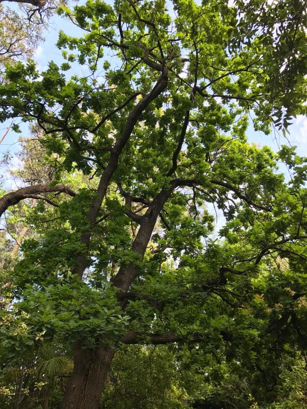my-oak-trees